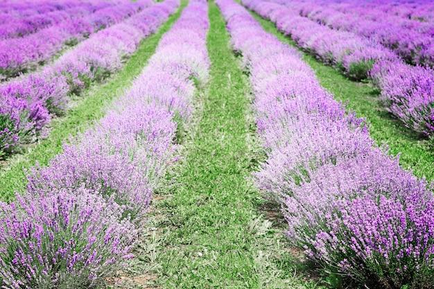 イタリアのラベンダー畑とイタリアの田園風景。ラベンダーの紫色の列と絵のような谷
