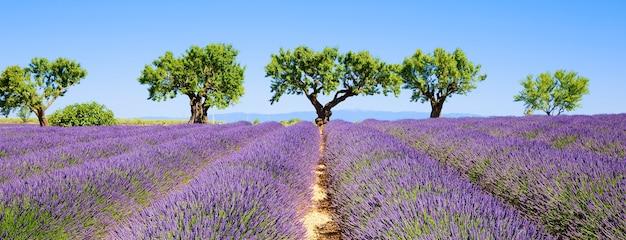 Лавандовые поля французского прованса, панорамный вид