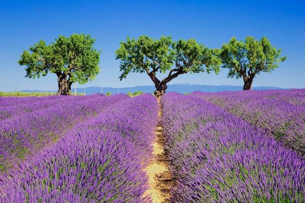 フランスのプロヴァンスのラベンダー畑