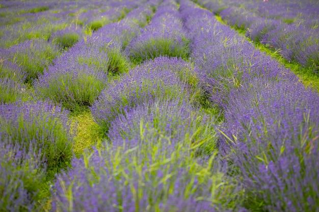 無限の列のラベンダーの花が咲く香りのフィールドチェコ共和国ヨーロッパ