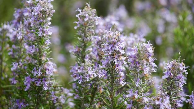 Поля цветка лаванды зацветая душистые в бесконечных рядах на закате. селективный фокус на кустах лавандовых пурпурных ароматных цветов на лавандовых полях французского прованса