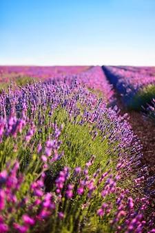 Ароматные поля цветов лаванды зацветают бесконечными рядами. прованс, франция, европа