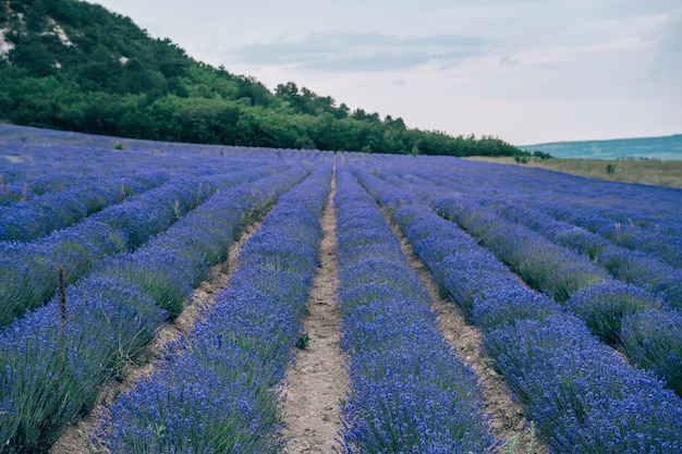 Цветок лаванды цветет душистые поля в бесконечных рядах