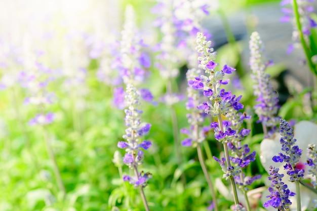 Lavender flower in garden,