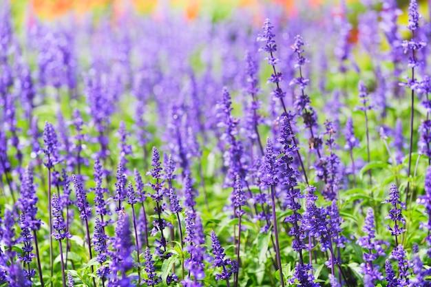 Цветок лаванды в цветочном парке далат,