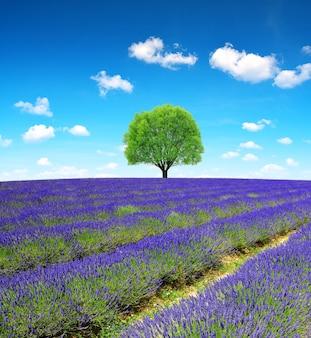 라벤더 꽃 바다 잔디 필드 배경 자연 풍경