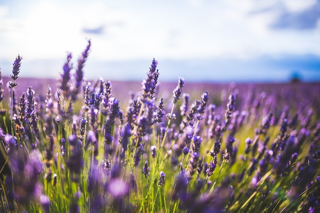 Lavender flower on  selective focus landscape in brihuega, spain.