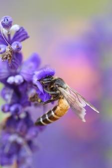 꿀벌과 라벤더 꽃
