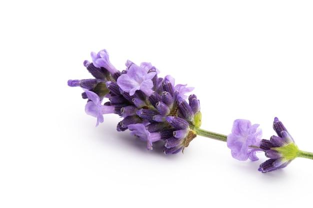 라벤더 꽃 무리 묶여 흰색 표면에 고립