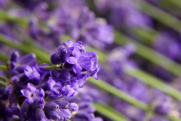 Lavender flowers clos eup