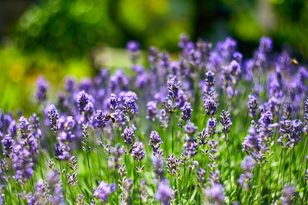 라벤더 꽃밭. 성장하고 피는 라벤더