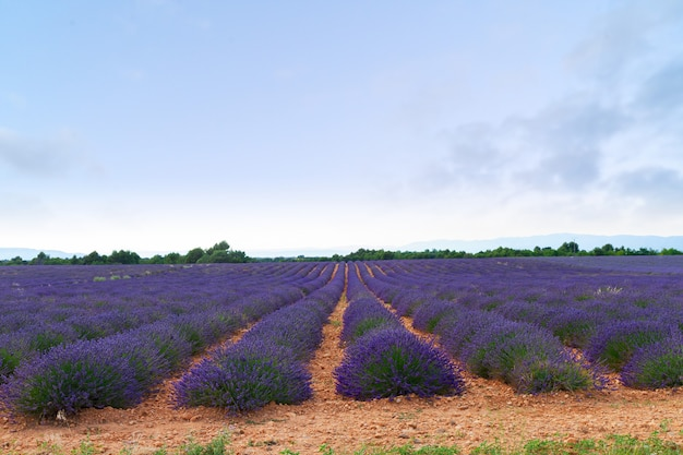 Lavender flowers field rows with summer sunset sky, provence, france