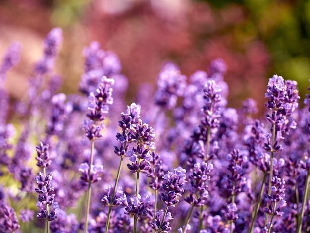 Lavender flowers in flower garden.