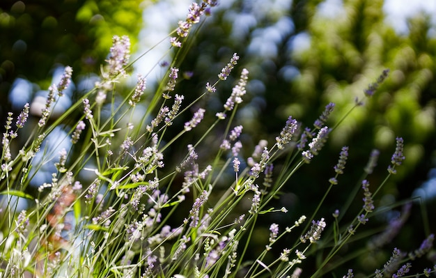 Lavender flowers in the garden. selective focus.