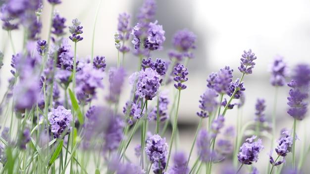 Цветы лаванды в японии. цветущие цветки лаванды имеют пурпурный цвет и хорошо пахнут для отдыха в летнее время года. цветущая лаванда на фурано на севере хоккайдо, япония.