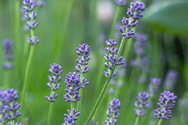 フィールド、庭のラベンダー色の花。自然の壁紙