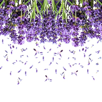 Lavender flowers isolated on white. fresh blossoms. floral background