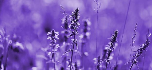 Цветы лаванды ультрафиолетовых тонов. фиолетовое лавандовое поле с мягким световым эффектом для вашего цветочного фона