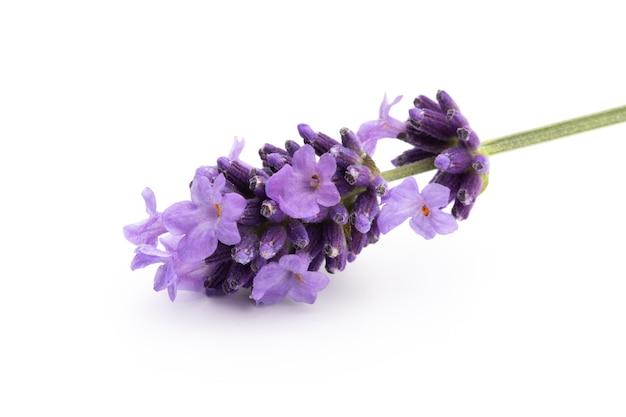 흰색 바탕에 라벤더 꽃
