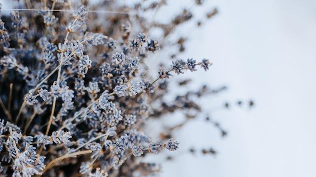 흰색 배경 이랑에 라벤더 꽃