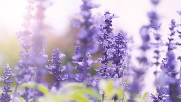 Цветки лаванды фиолетового цвета и вспышка света заката перед камерой, которые представляют аромат для релаксина.