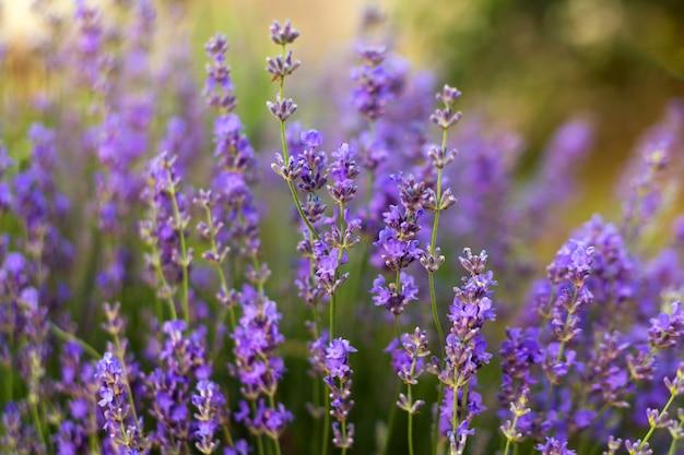 Цветы лаванда мягкий фокус