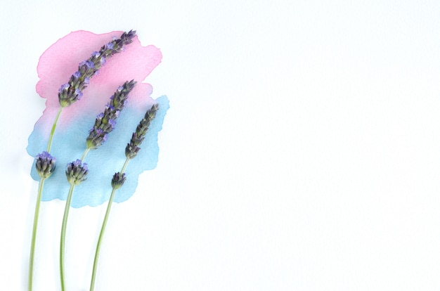 Цветы лаванды с акварельной краской на белом фоне