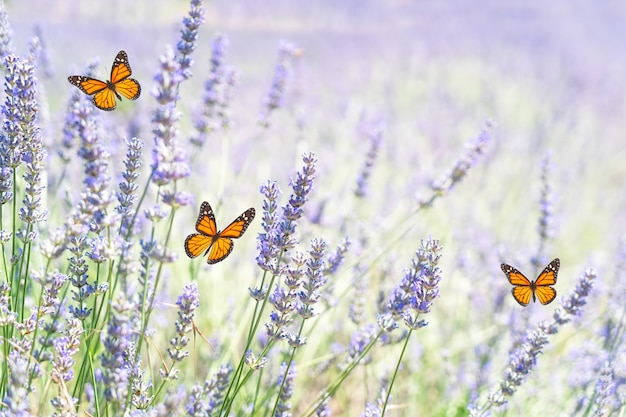 Lavender fresh blooming flowers field with butterflies, provence france, selective focus, summer sunlight