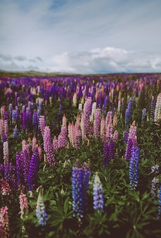 Lavender garden in new zealand under a cloudy sky with a blurry background