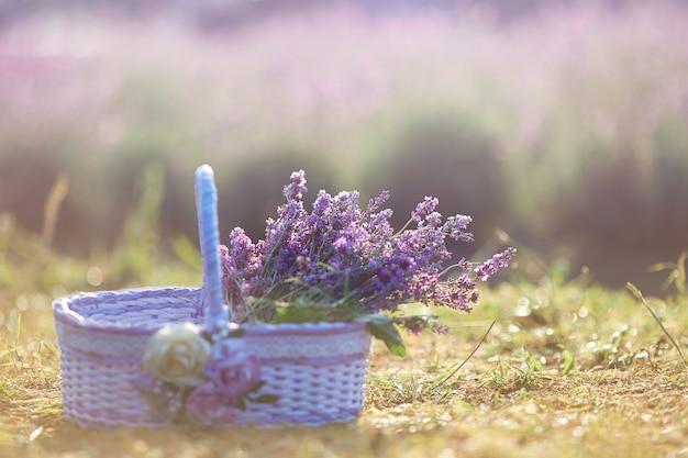 Lavender harvest in wonderful basket