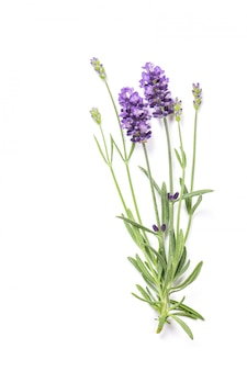 Lavender herb flowers isolated on white