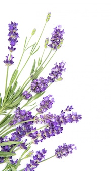 Lavender herb flowers on whitefloral border