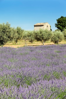 Lavender and little house
