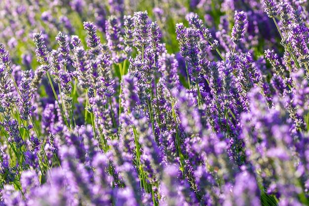 晴れた春の日に色とりどりの開いた花でいっぱいのラベンダー植物
