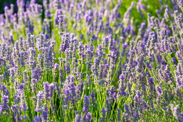 Lavender plant bursting with colorful open flowers on a sunny spring day