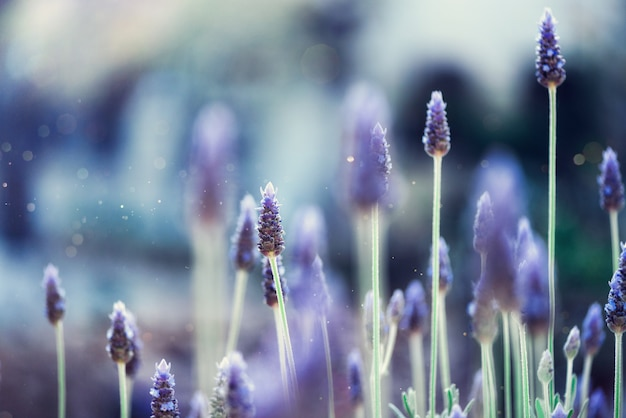 Lavender plant field. lavandula angustifolia flower. blooming violet wild flowers background with copy space.