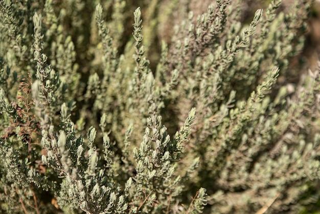 라벤더 식물 질감 3