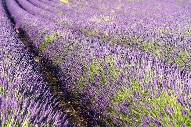 Lavender plantations in valensole, france.