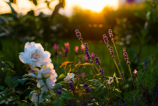 Lavender and rose flowers