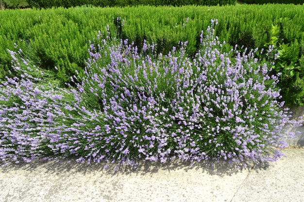 Lavender and rosemary blooms in the garden, beautiful park decoration