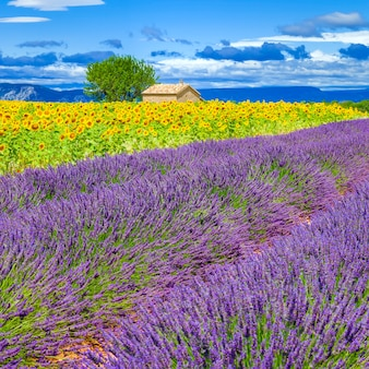Lavender and sunflower field with tree in france