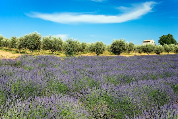 Lavender and tree