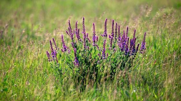 畑に紫色の花が咲くラベンダー