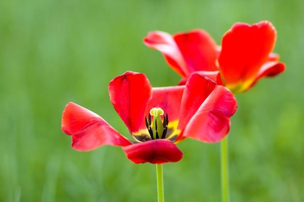 Красивое изображение конца-вверх чудесной яркой красной весны цветет тюльпаны на высоких стержнях lavishly зацветая на запачканной зеленой предпосылке bokeh в саде или поле. красота и защита природы концепции.