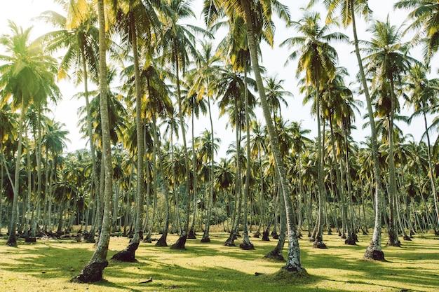 Лужайки и пальмы острова тенерифе loro parque. густо растущие кокосовые пальмы в тропическом саду. экзотическое сельское хозяйство. длинный остров. андаманские и никобарские острова индия.