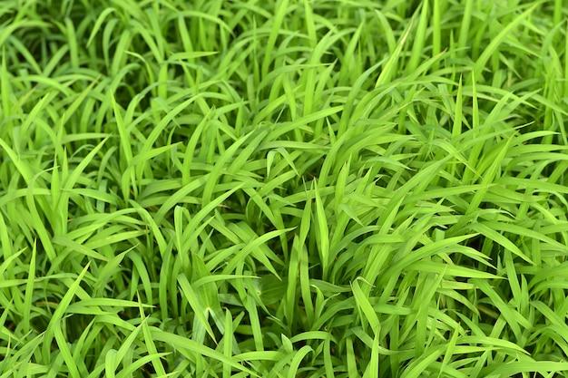 Lawn grass top view