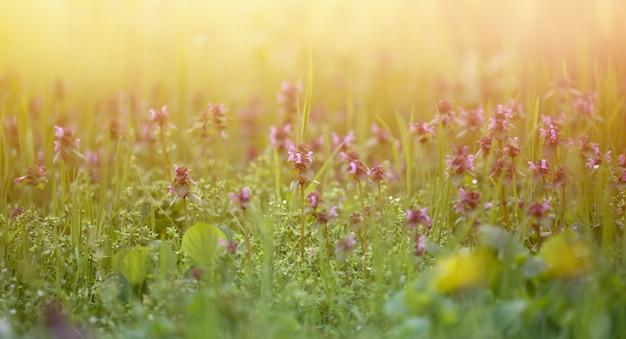 푸른 잔디와 석양의 광선에 꽃 잔디