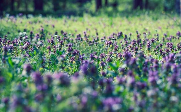 Газон с зеленой пышной травой и сиреневыми цветами, парк в весенний день, крупным планом