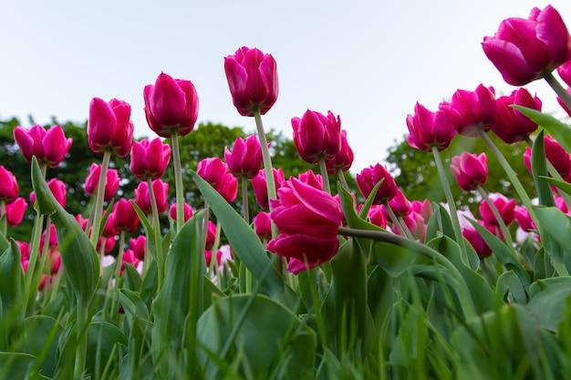 Газон с розовыми тюльпанами на переднем плане, вид снизу.