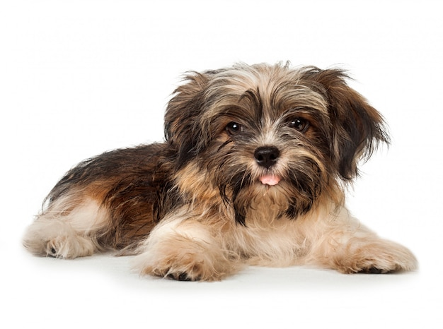 A laying beautiful smiling dark chocolate havanese puppy dog
